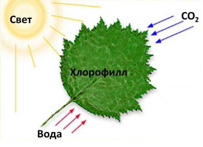 Условия, необходимые для фотосинтеза