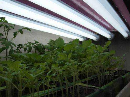 Освещение рассады длинными люминесцентными лампами